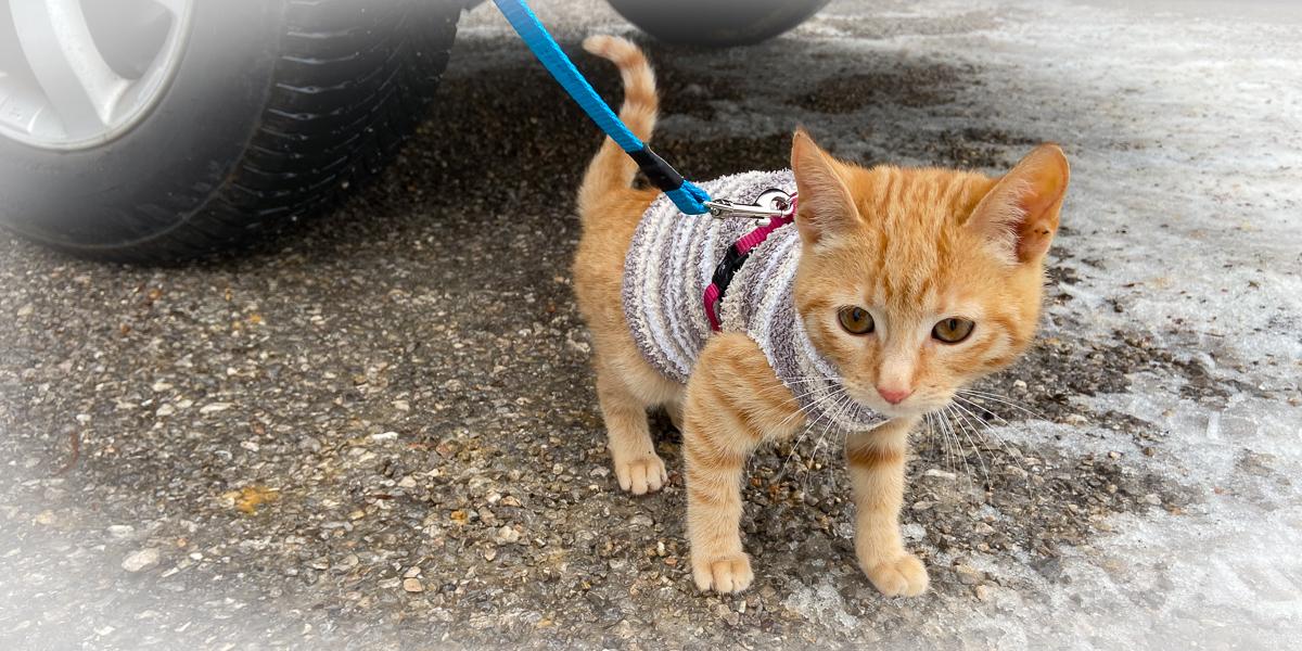 ginger-kitten-on-the-leash